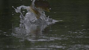 Slow motion clip of a Brown trout (Salmo trutta) breaching to predate an adult Mayfly (Ephemoptera) emerged on the surface, River Kennet, Hungerford, Berkshire, England, UK, June. - John Waters
