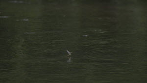 Slow motion clip of a Brown trout (Salmo trutta) predating an adult Mayfly (Ephemoptera) struggling to take off from water, River Kennet, Hungerford, Berkshire, England, UK, June. - John Waters