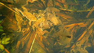 High angle shot looking down on a group of Common European toads (Bufo bufo) in a spawning bundle underwater, Priddy, Somerset, England, UK, April.  -  John Waters