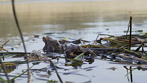 Male Common European toad (Bufo bufo) approaching female at surface, Priddy, Somerset, England, UK, April.  -  John Waters