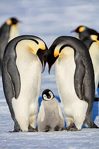 Emperor penguin (Aptenodytes forsteri) two adults with young chick, Gould Bay, Weddell Sea, Antarctica.  -  Sue Flood