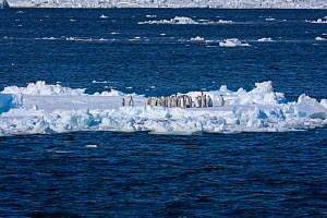 Emperor penguin (Aptenodytes forsteri) moulting chicks on ice floe, Ross Sea, Antarctica. The immature birds make their way across the fast ice and assemble in huge numbers on the ice edge waiting to...  -  Sue Flood