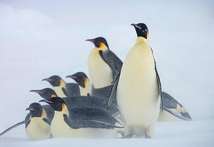 Emperor penguins (Aptenodytes forsteri) huddle together in snow storm near Snow Hill Island colony, Weddell Sea, Antarctica.  -  Sue Flood