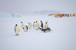 Emperor penguins (Aptenodytes forsteri) in snow storm, while tourists watch in background. Near Snow Hill Island colony in Weddell Sea, Antarctica  -  Sue Flood