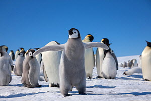 Emperor penguin (Aptenodytes forsteri) chick flapping wings, Snow Hill Island rookery, Weddell Sea, Antarctica. November. - Sue Flood