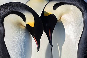 Emperor penguin (Aptenodytes forsteri) adults leaning over young chicks, Gould Bay, Weddell Sea, Antarctica.  -  Sue Flood