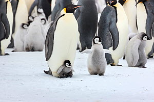 Emperor penguin (Aptenodytes forsteri) chick on feet of adult, with older chick nearby. Snow Hill Island rookery, Weddell Sea, Antarctica.  -  Sue Flood