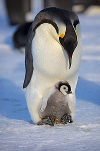 Emperor penguin (Aptenodytes forsteri) adult with young chick, Gould Bay, Weddell Sea, Antarctica  -  Sue Flood