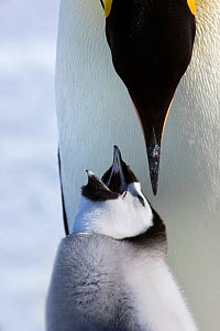Emperor penguin (Aptenodytes forsteri) feeding young chick, Snow Hill Island rookery, Antarctica. October. Sequence 1 of 3  -  Sue Flood
