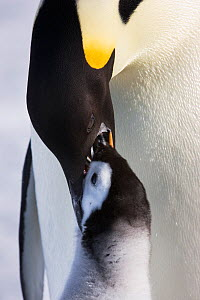 Emperor penguin (Aptenodytes forsteri) feeding young chick, Snow Hill Island rookery, Antarctica. October. Sequence 3 of 3  -  Sue Flood