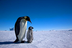Emperor penguin (Aptenodytes forsteri) with young chick at Snow Hill Island rookery, Antarctica.  -  Sue Flood