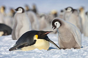 Emperor penguin (Aptenodytes forsteri) parent with chick begging for food at Snow Hill Island rookery, Weddell Sea, Antarctica, November.  -  Sue Flood