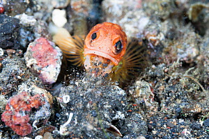 Jawfish (Opistognathus sp.) spitting out sand and stones to maintain its burrow. Lembeh Strait, Celebes Sea, North Sulawesi, Indonesia. - Tony Wu