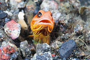 Jawfish (Opistognathus sp) looking around after spitting out sand and rubble to maintain burrow. Lembeh Strait, Celebes Sea, North Sulawesi, Indonesia. - Tony Wu