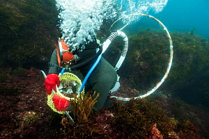 Ama diver searching for amongst seaweed with basket almost full with Sea snails (Turbo sazae). The basket can be exchanged by her husband at the surface. Futo Harbour, Izu Peninsula, Honshu, Japan. Ju...  -  Tony Wu