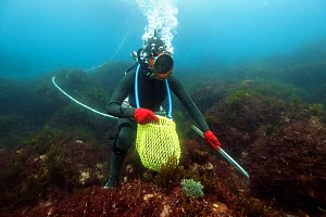Ama diver searching for shellfish including Sea snails (Turbo sazae) amongst seaweed. Hose supplies diver with air and enables communication with husband at surface. Futo Harbour, Izu Peninsula, Honsh...  -  Tony Wu