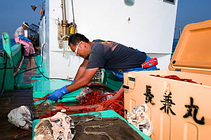 Fishermen, father and son, working aboard boat. Son organising the deep-sea King crab (Lithodes turritus) catch. Suruga Bay, Shizuoka Prefecture, Honshu, Japan. April 2018. - Tony Wu