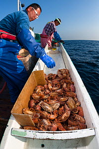 Fishermen on boat sorting through catch of Giant isopods (Bathynomus doederleinii) for use in foods such as senbei rice crackers or for display in aquaria. Suruga Bay, Shizuoka Prefecture, Honshu, Jap...  -  Tony Wu