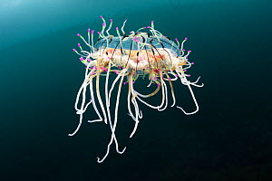 Flower hat jelly (Olindias formosus) in Pacific Ocean. Kochi Prefecture, Shikoku, Japan. May.  -  Tony Wu