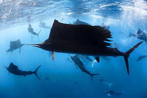 Indo-Pacific sailfish (Istiophorus platypterus) in feeding frenzy, with the remains of a previously large school of sardines (Sardina sp) in background. Isla Mujeres, Cancun, Mexico. - Tony Wu