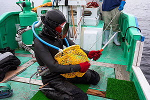 Ama diver on boat. preparing to work in the ocean. Metal tool to pry shells from rocks, net to collect shells and hoses to supply air and facilitate communication. Futo Harbour, Izu Peninsula, Shizuok...  -  Tony Wu