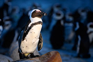 African penguin (Spheniscus demersus) standing on rock at dusk, with clustered penguins in background. South Africa. November.  -  Tony Wu