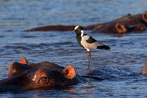 RF - Blacksmith lapwing (Vanellus armatus) perched on hippo (Hippopotamus amphibius) Chobe river, Botswana. (This image may be licensed either as rights managed or royalty free.)  -  Ann  & Steve Toon