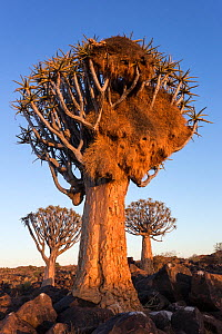 Sociable weaver (Philetairus socius) nest in quiver tree (Aloidendron dichotomum) Quiver tree forest, Keetmanshoop, Namibia.  -  Ann  & Steve Toon