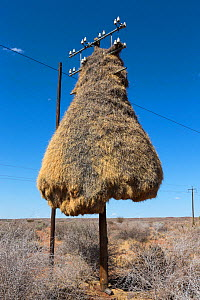 Sociable weaver (Philetairus socius) nest on telegraph pole, Northern Cape, South Africa.  -  Ann  & Steve Toon