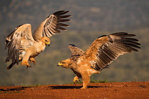 Tawny eagles (Aquila rapax) fighting, Zimanga Private Game Reserve, KwaZulu-Natal, South Africa.  -  Ann  & Steve Toon