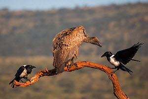 Whitebacked vulture (Gyps africanus) with pied crows (Corvus albus) Zimanga Private Game Reserve, KwaZulu-Natal, South Africa.  -  Ann  & Steve Toon