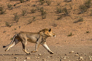 RF - Lion (Panthera leo) male running in desert, Kgalagadi Transfrontier Park, South Africa. (This image may be licensed either as rights managed or royalty free.)  -  Ann  & Steve Toon
