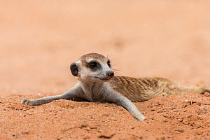 RF - Meerkat (Suricata suricatta) resting on cool sand, Kgalagadi Transfrontier Park, South Africa. (This image may be licensed either as rights managed or royalty free.) - Ann  & Steve Toon