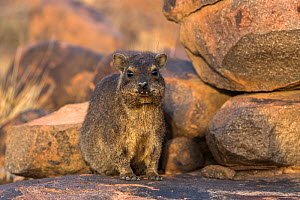 Rock hyrax (Procavia capensis) Quiver Tree Forest, Keetmanshoop, Namibia. - Ann  & Steve Toon