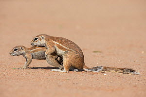 Ground squirrels (Xerus inauris) mating, Kgalagadi Transfrontier Park, Northern Cape, South Africa. - Ann  & Steve Toon