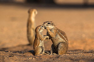 Ground squirrels (Xerus inauris) female nteracting with juvenile, Kgalagadi Transfrontier Park, Northern Cape, South Africa. - Ann  & Steve Toon
