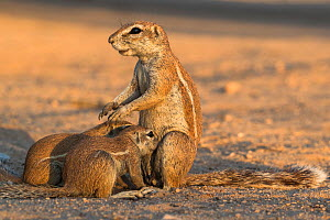 Ground squirrels (Xerus inauris) suckling young, Kgalagadi Transfrontier Park, Northern Cape, South Africa. - Ann  & Steve Toon