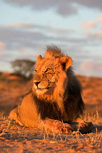 Lion (Panthera leo) male with claw mark scars on face, Kgalagadi Transfrontier Park, South Africa.  -  Ann  & Steve Toon