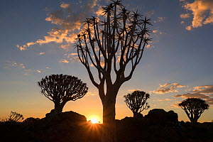 RF - Quiver trees (Aloidendron dichotomum) silhouetted at sunset, Quiver Tree Forest, Keetmanshoop, Namibia. (This image may be licensed either as rights managed or royalty free.) - Ann  & Steve Toon
