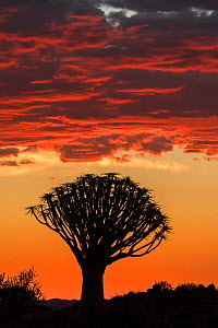 Quiver tree silhouetted at sunset (Aloidendron dichotomum) Quiver Tree Forest, Keetmanshoop, Namibia.  -  Ann  & Steve Toon
