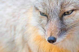 Corsac fox (Vulpes corsac) portrait. Occurs in Central Asia. Captive, Netherlands. - Edwin Giesbers