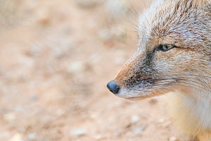 Corsac fox (Vulpes corsac). Occurs in Central Asia. Captive, Netherlands. - Edwin Giesbers