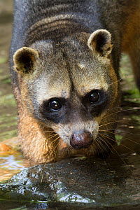Crab-eating raccoon (Procyon cancrivorus) portrait. Occurs in South America. Captive, Netherlands. - Edwin Giesbers