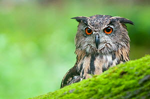 RF - Eagle owl (Bubo bubo) portrait. Netherlands, August. (This image may be licensed either as rights managed or royalty free.)  -  Edwin Giesbers