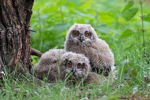 RF - Eagle owl (Bubo bubo), two chicks on ground, Netherlands. May. (This image may be licensed either as rights managed or royalty free.)  -  Edwin Giesbers
