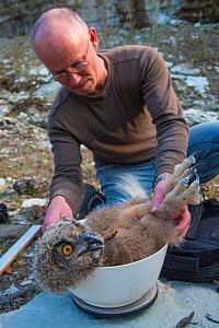Man weighing Eagle owl (Bubo bubo) chick during ringing session. Netherlands. February 2016. - Edwin Giesbers
