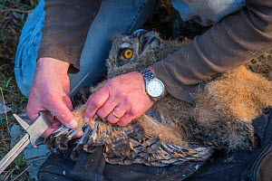 Eagle owl (Bubo bubo) chick. Man measuring chick's wings during ringing session. Netherlands. February 2016.  -  Edwin Giesbers