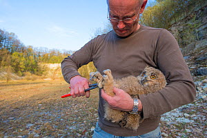 Man ringing Eagle owl (Bubo bubo) chick. Netherlands. February 2016.  -  Edwin Giesbers
