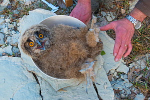 Eagle owl (Bubo bubo) chick on scales during ringing session. Netherlands. February 2016. - Edwin Giesbers