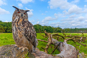 Eagle owl (Bubo bubo) perched on log. Captive, Netherlands. September 2008. - Edwin Giesbers